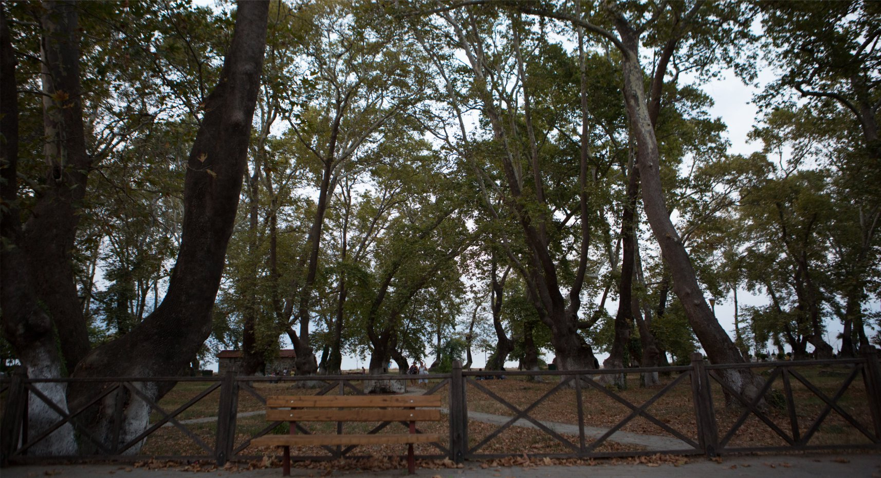 stavros-plane-tree-forest